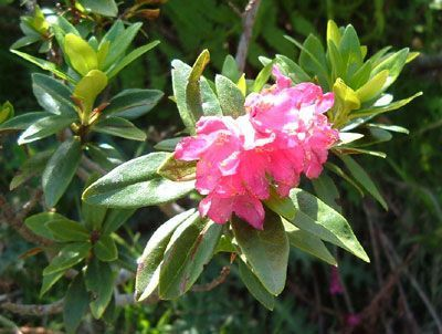 La flore page 4 - Rhododendron ne fleurit pas ...